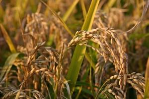 Il riso in Piemonte